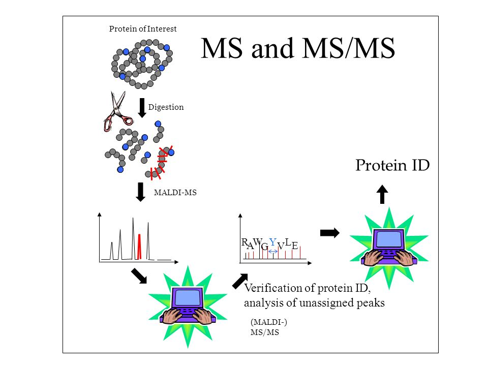 Digestion Protein of Interest MALDI-MS (MALDI-) MS/MS R A W G Y V L E Protein ID MS and MS/MS Verification of protein ID, analysis of unassigned peaks