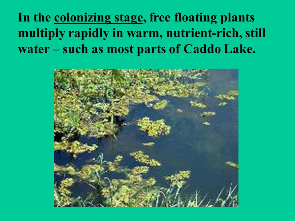 In the colonizing stage, free floating plants multiply rapidly in warm, nutrient-rich, still water – such as most parts of Caddo Lake.
