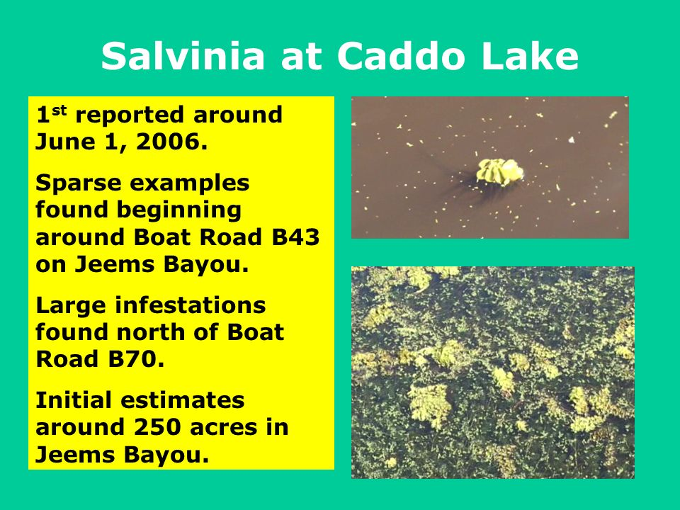 Salvinia at Caddo Lake 1 st reported around June 1, 2006.