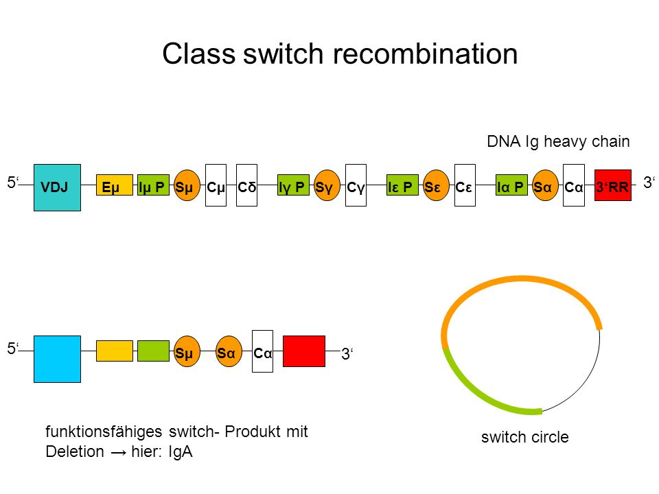 Class switch recombination DNA Ig heavy chain 53 EµIµ PSµCµCδCδIγ PSγSγCγCγIε PSεSεCεCεIα PSαSαCαCα3RR 5 SµSαSαCαCα 3 funktionsfähiges switch- Produkt mit Deletion hier: IgA switch circle VDJ