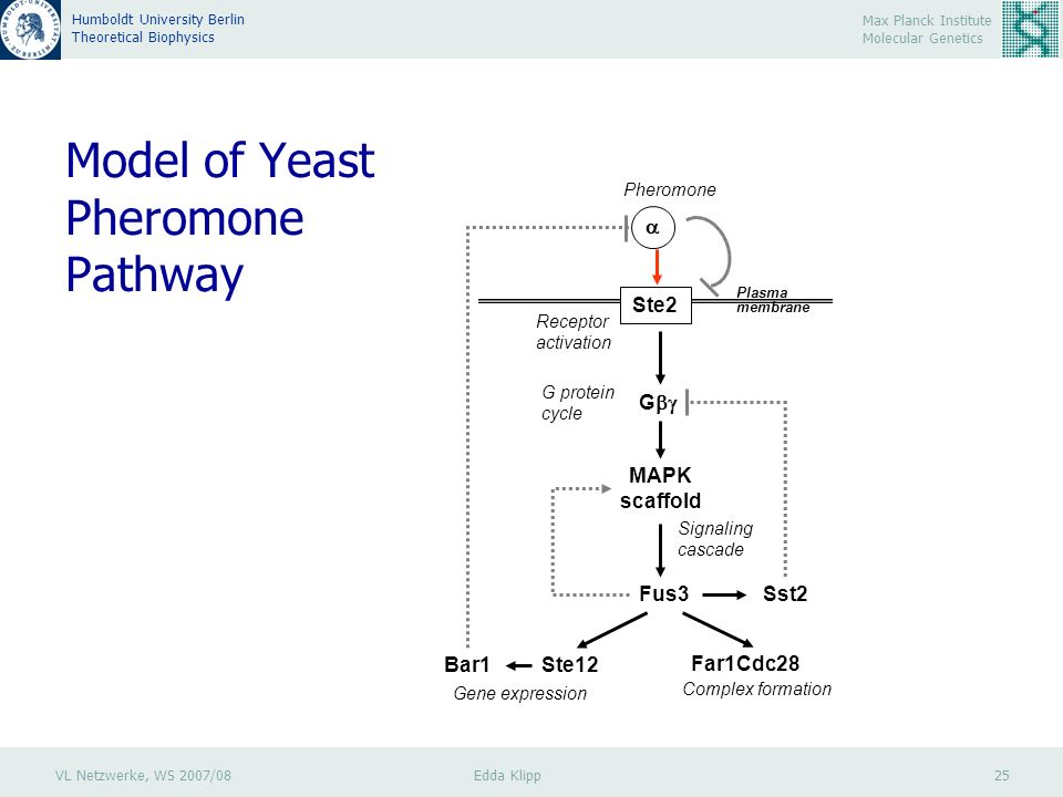 VL Netzwerke, WS 2007/08 Edda Klipp 25 Max Planck Institute Molecular Genetics Humboldt University Berlin Theoretical Biophysics Model of Yeast Pheromone Pathway Ste2 G Fus3Sst2 Ste12Bar1 MAPK scaffold Far1Cdc28 Plasma membrane Gene expression Complex formation Signaling cascade G protein cycle Receptor activation Pheromone