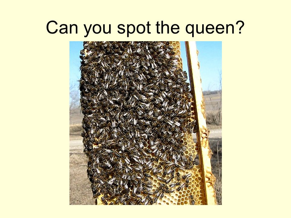 Can you spot the queen