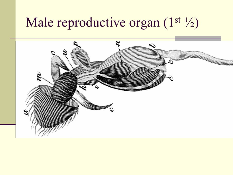 Male reproductive organ (1 st ½)