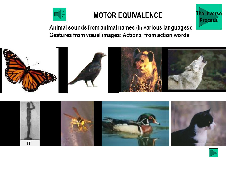MOTOR EQUIVALENCE Animal sounds from animal names (in various languages): Gestures from visual images: Actions from action words The Inverse Process