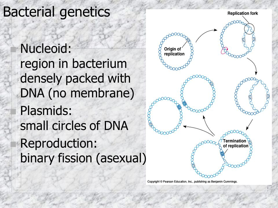 Bacterial genetics n Nucleoid: region in bacterium densely packed with DNA (no membrane) n Plasmids: small circles of DNA n Reproduction: binary fission (asexual)