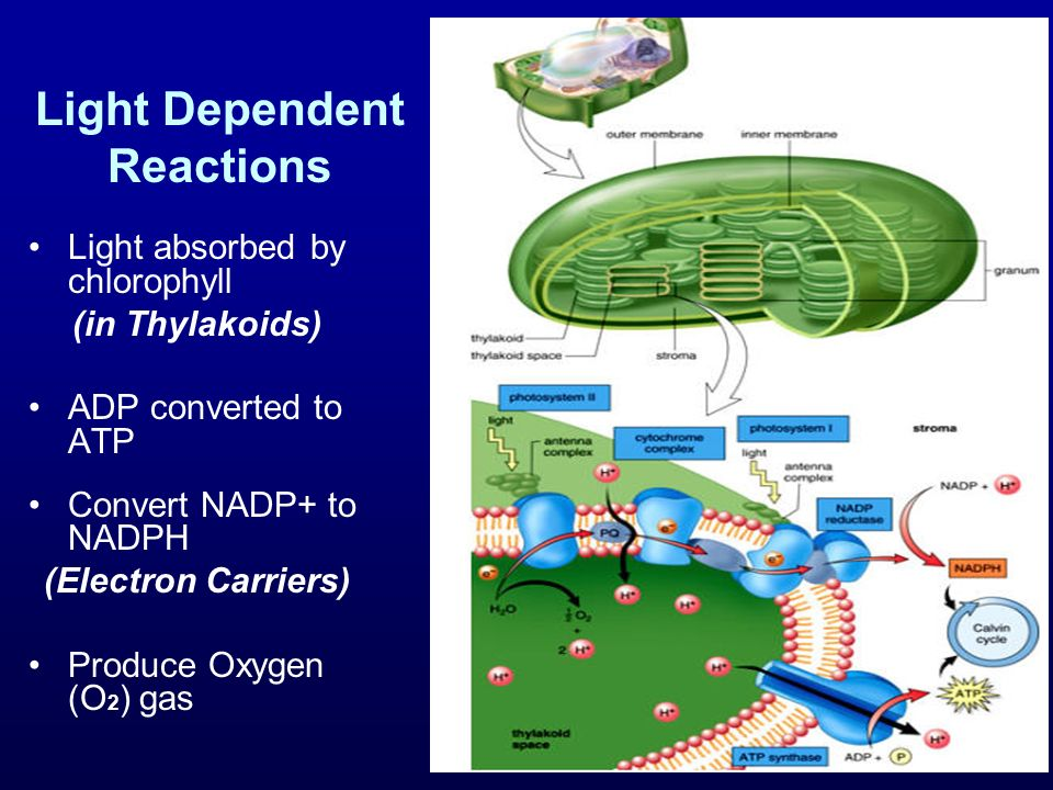 Light Dependent Reactions Light absorbed by chlorophyll (in Thylakoids) ADP converted to ATP Convert NADP+ to NADPH (Electron Carriers) Produce Oxygen (O 2 ) gas