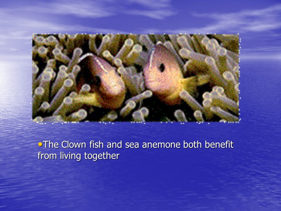 The Clown fish and sea anemone both benefit from living together The Clown fish and sea anemone both benefit from living together