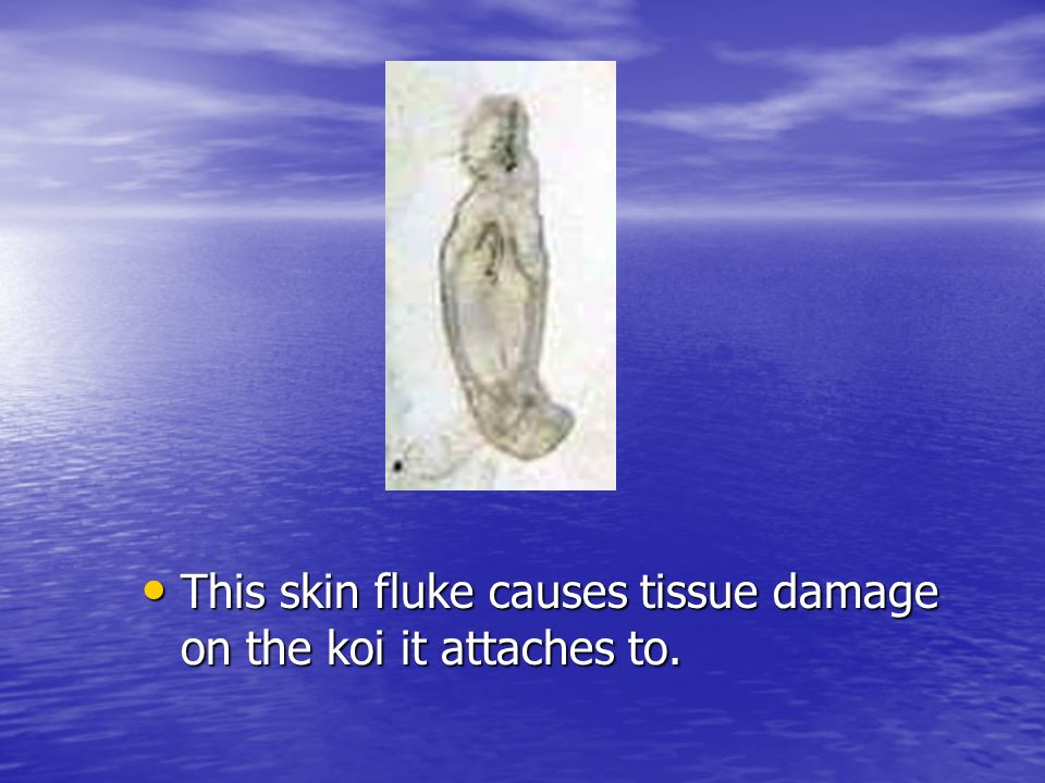 This skin fluke causes tissue damage on the koi it attaches to.