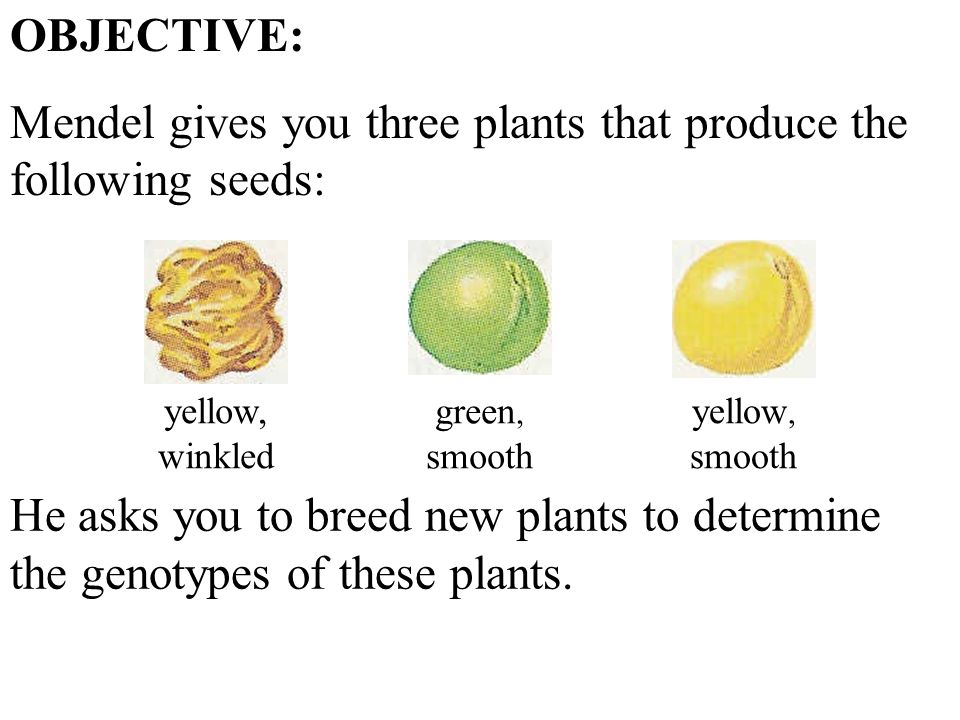 yellow, winkled green, smooth yellow, smooth OBJECTIVE: Mendel gives you three plants that produce the following seeds: He asks you to breed new plants to determine the genotypes of these plants.