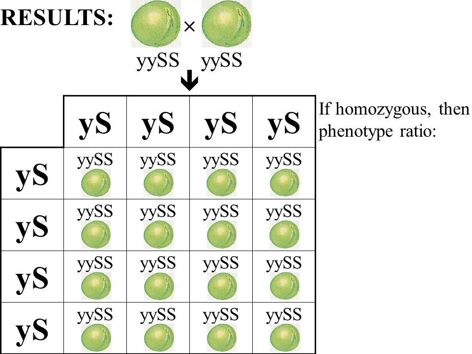 yS yySS yS yySS yS yySS yS yySS If homozygous, then phenotype ratio: RESULTS: yySS