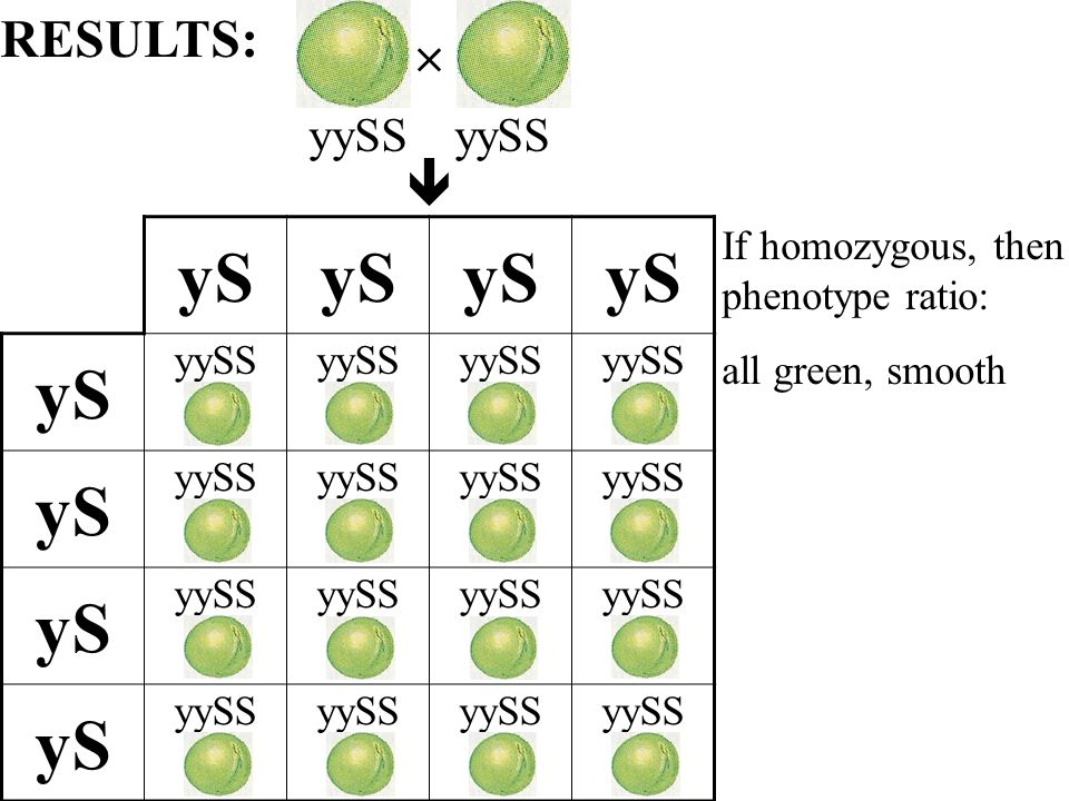 yS yySS yS yySS yS yySS yS yySS If homozygous, then phenotype ratio: all green, smooth RESULTS: yySS