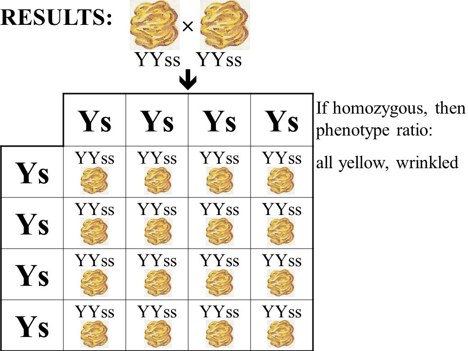 Ys YYss Ys YYss Ys YYss Ys YYss If homozygous, then phenotype ratio: all yellow, wrinkled RESULTS:YYss
