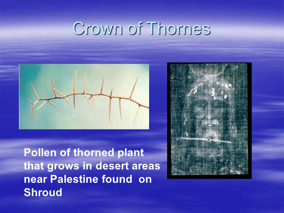 Crown of Thornes Pollen of thorned plant that grows in desert areas near Palestine found on Shroud