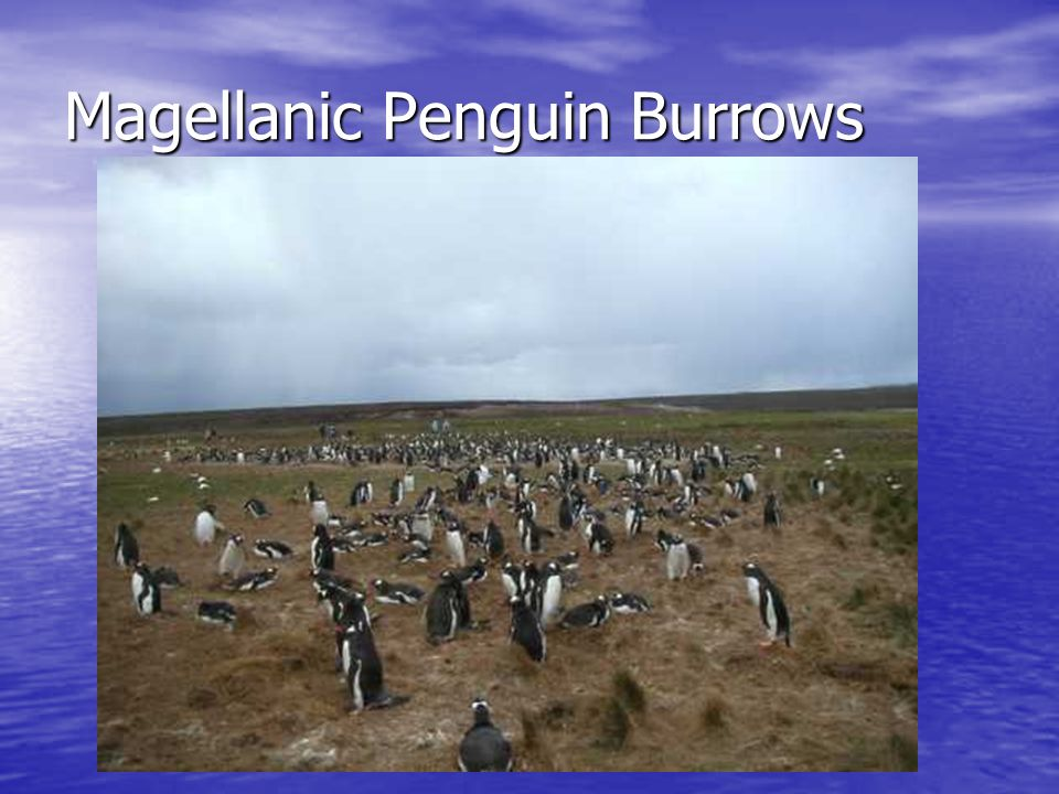 Magellanic Penguin Burrows