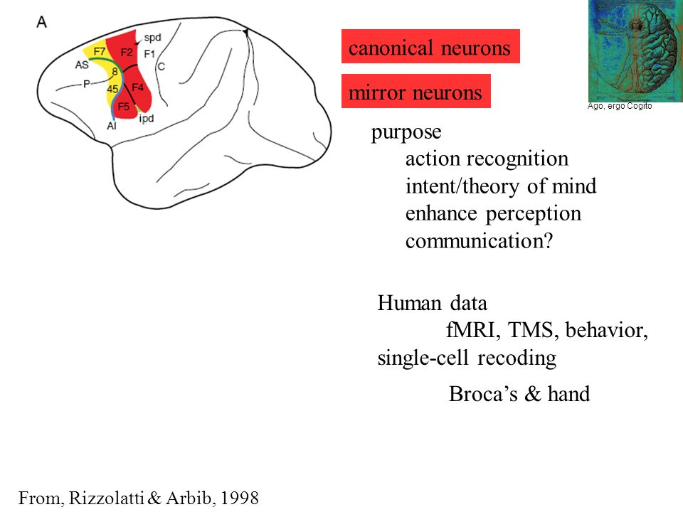 Ago, ergo Cogito mirror neurons purpose action recognition intent/theory of mind enhance perception communication.