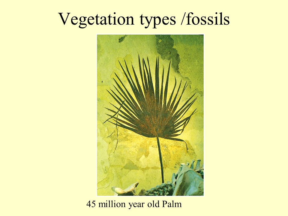 Vegetation types /fossils 45 million year old Palm