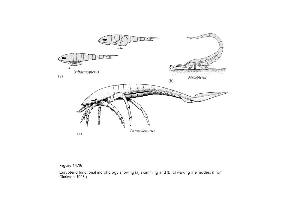 Figure Eurypterid functional morphology showing (a) swimming and (b, c) walking life modes.