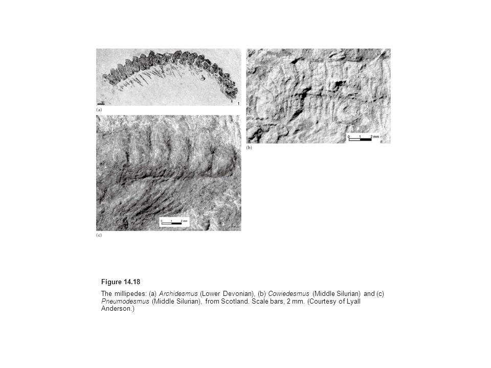 Figure The millipedes: (a) Archidesmus (Lower Devonian), (b) Cowiedesmus (Middle Silurian) and (c) Pneumodesmus (Middle Silurian), from Scotland.
