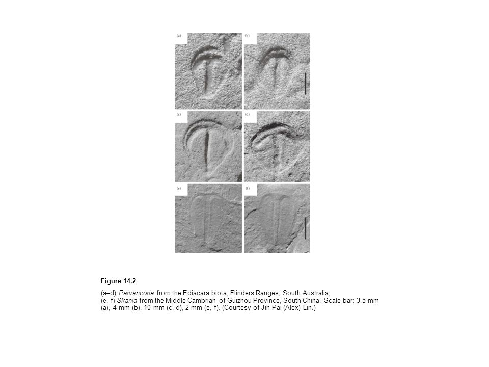 Figure 14.2 (a–d) Parvancoria from the Ediacara biota, Flinders Ranges, South Australia; (e, f) Skania from the Middle Cambrian of Guizhou Province, South China.
