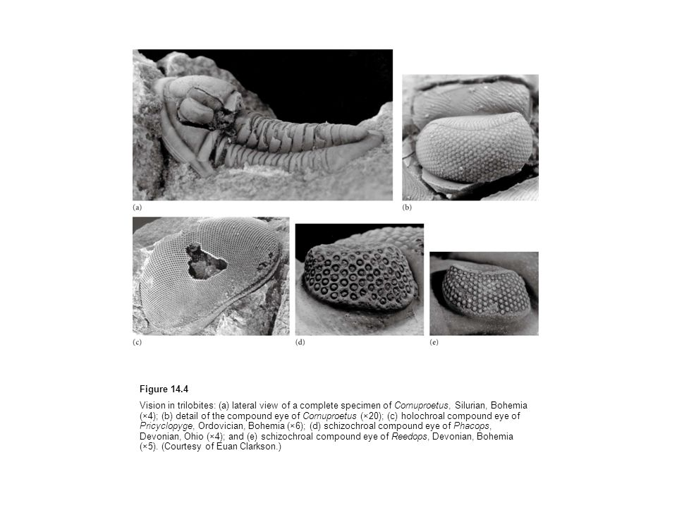Figure 14.4 Vision in trilobites: (a) lateral view of a complete specimen of Cornuproetus, Silurian, Bohemia (×4); (b) detail of the compound eye of Cornuproetus (×20); (c) holochroal compound eye of Pricyclopyge, Ordovician, Bohemia (×6); (d) schizochroal compound eye of Phacops, Devonian, Ohio (×4); and (e) schizochroal compound eye of Reedops, Devonian, Bohemia (×5).