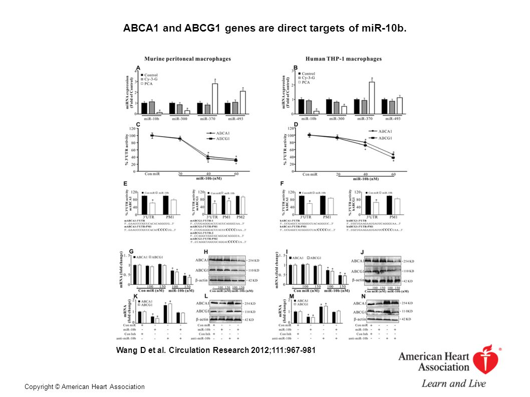 ABCA1 and ABCG1 genes are direct targets of miR-10b.