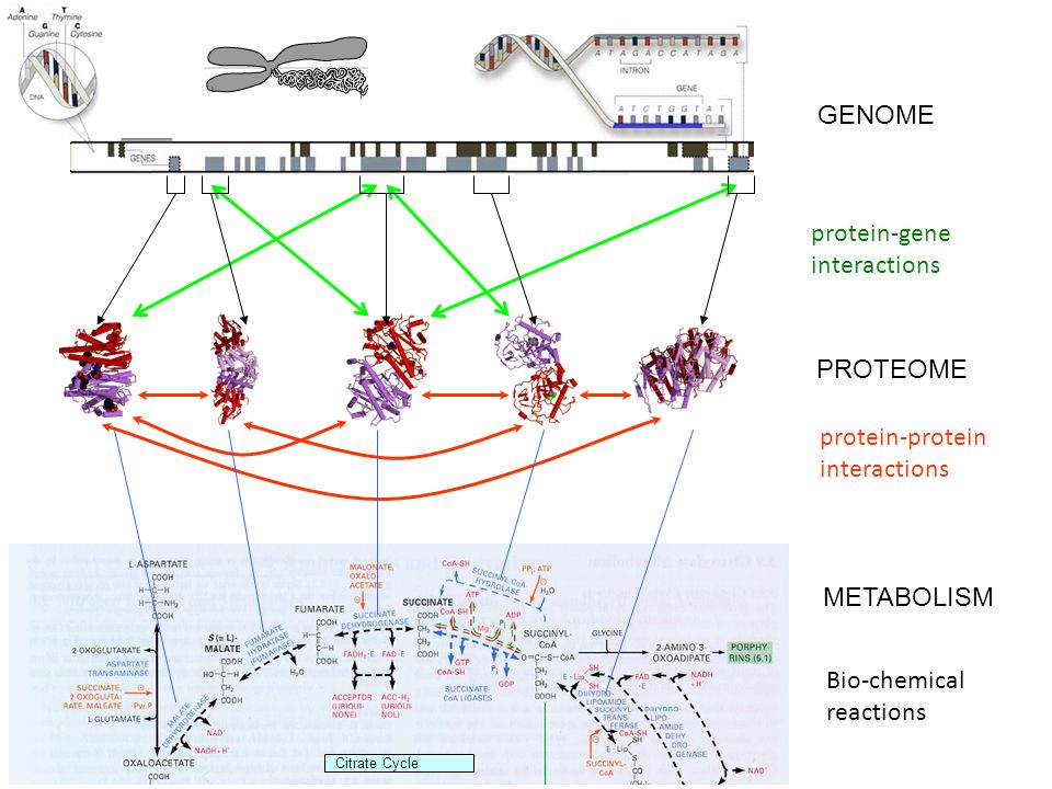 protein-gene interactions protein-protein interactions PROTEOME GENOME Citrate Cycle METABOLISM Bio-chemical reactions Bio-Map