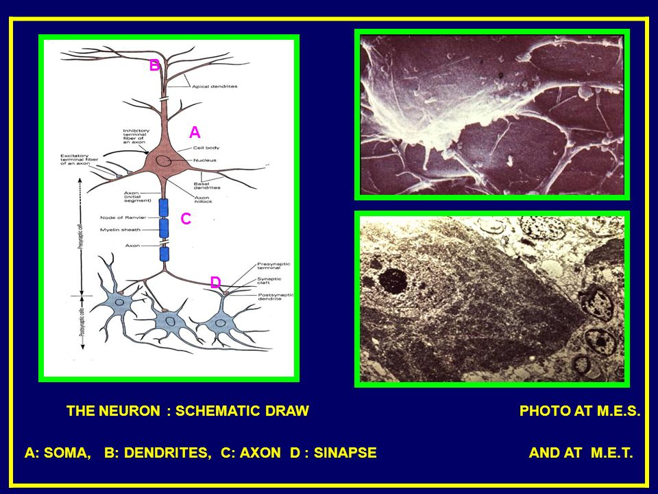 THE NEURON : SCHEMATIC DRAW PHOTO AT M.E.S.