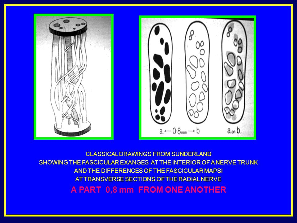 CLASSICAL DRAWINGS FROM SUNDERLAND SHOWING THE FASCICULAR EXANGES AT THE INTERIOR OF A NERVE TRUNK AND THE DIFFERENCES OF THE FASCICULAR MAPSI AT TRANSVERSE SECTIONS OF THE RADIAL NERVE A PART 0,8 mm FROM ONE ANOTHER