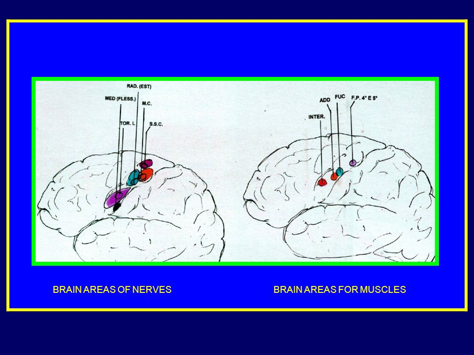 BRAIN AREAS OF NERVES BRAIN AREAS FOR MUSCLES