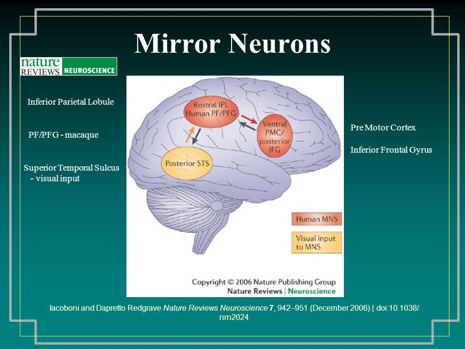 Mirror Neurons Iacoboni and Dapretto Redgrave Nature Reviews Neuroscience 7, 942–951 (December 2006) | doi: / nrn2024 Superior Temporal Sulcus - visual input Pre Motor Cortex Inferior Frontal Gyrus Inferior Parietal Lobule PF/PFG - macaque