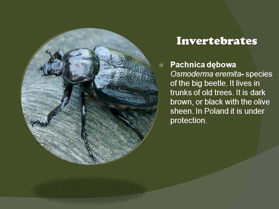 Kliknij ikonę, aby dodać obraz Invertebrates Pachnica dębowa Osmoderma eremita- species of the big beetle.