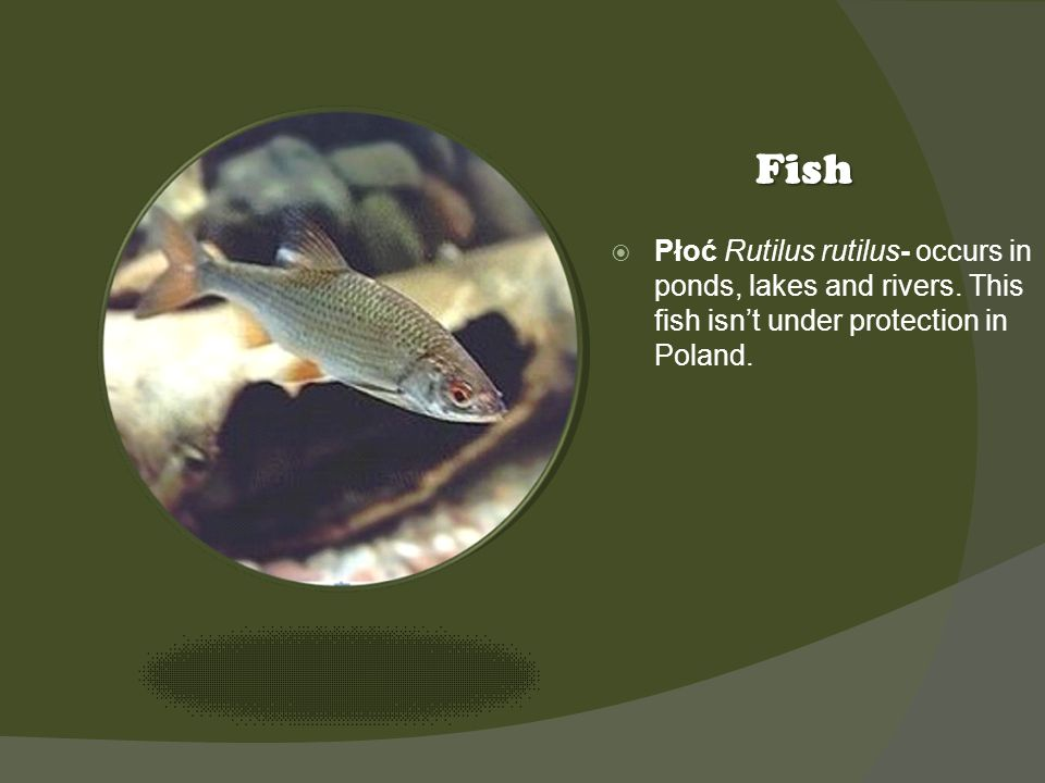 Kliknij ikonę, aby dodać obraz Fish Płoć Rutilus rutilus- occurs in ponds, lakes and rivers.