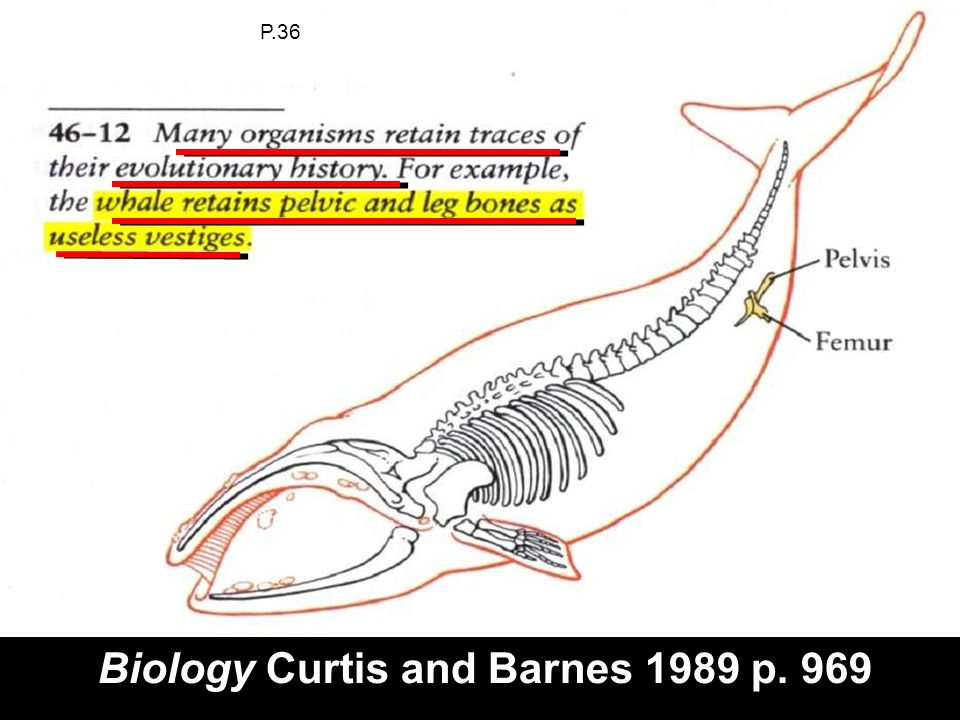Whales vestigile pelvis (Holt Biology p.182 in suitcase) Biology Curtis and Barnes 1989 p. 969 P.36
