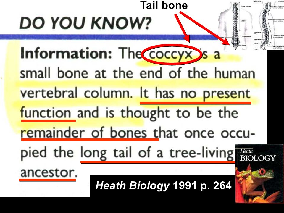 Heath Biology 1991 p. 264 Tail bone