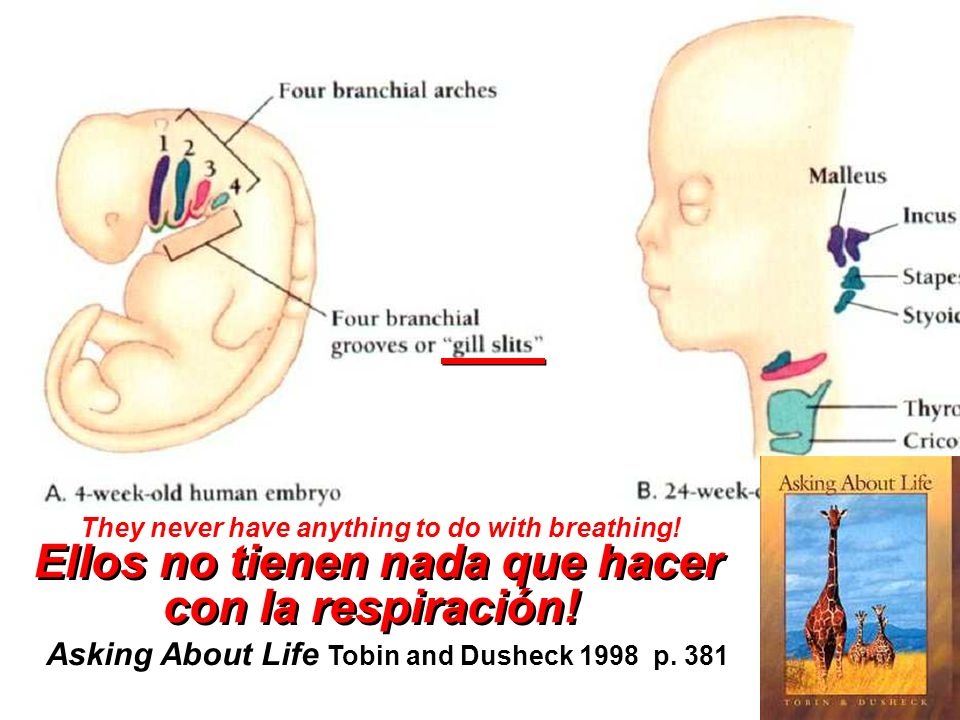 Asking About Life Tobin and Dusheck 1998 p. 381 They never have anything to do with breathing.