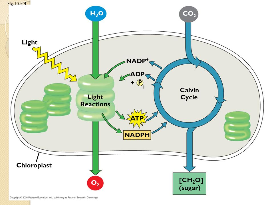Photosynthesis chap 10 this goes well with cellular respiration 16 light fig ccuart Images