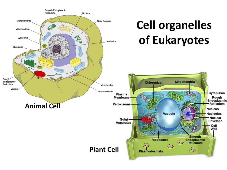 Cell organelles of Eukaryotes Animal Cell Plant Cell