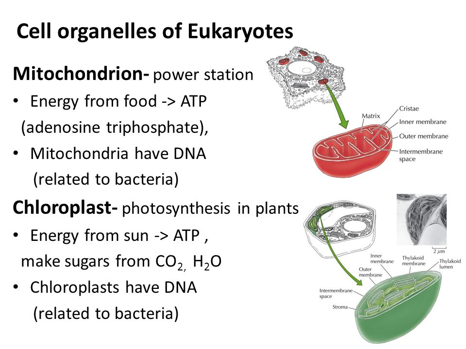 Cell organelles of Eukaryotes Mitochondrion- power station Energy from food -> ATP (adenosine triphosphate), Mitochondria have DNA (related to bacteria) Chloroplast- photosynthesis in plants Energy from sun -> ATP, make sugars from CO 2, H 2 O Chloroplasts have DNA (related to bacteria)