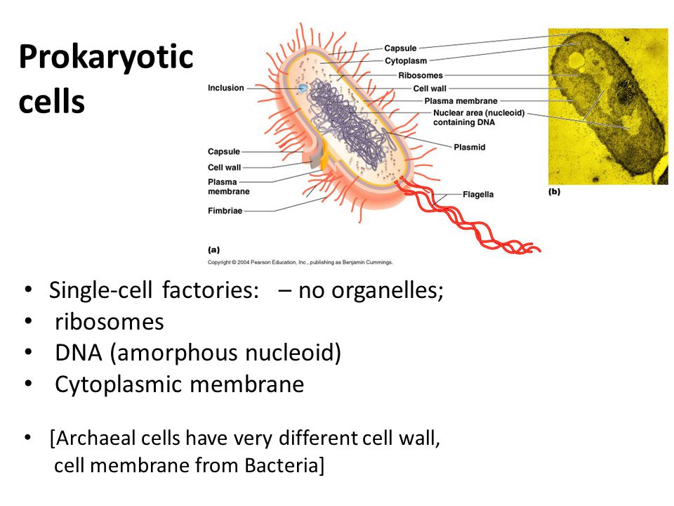 Prokaryotic cells Single-cell factories: – no organelles; ribosomes DNA (amorphous nucleoid) Cytoplasmic membrane [Archaeal cells have very different cell wall, cell membrane from Bacteria]