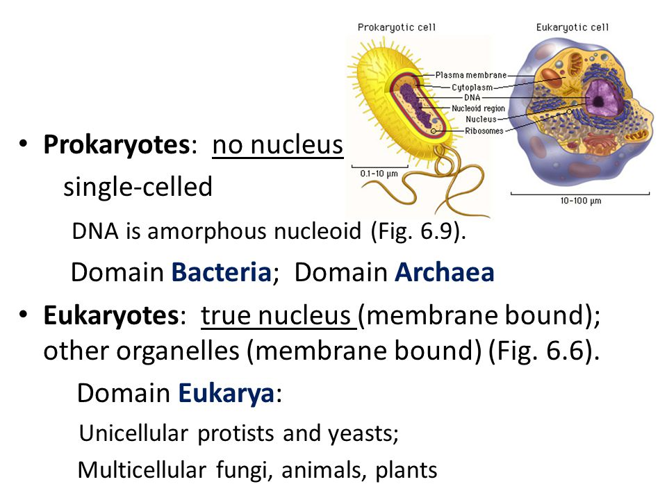 Prokaryotes: no nucleus single-celled DNA is amorphous nucleoid (Fig.