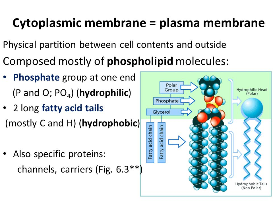 Cytoplasmic membrane = plasma membrane Physical partition between cell contents and outside Composed mostly of phospholipid molecules: Phosphate group at one end (P and O; PO 4 ) (hydrophilic) 2 long fatty acid tails (mostly C and H) (hydrophobic) Also specific proteins: channels, carriers (Fig.
