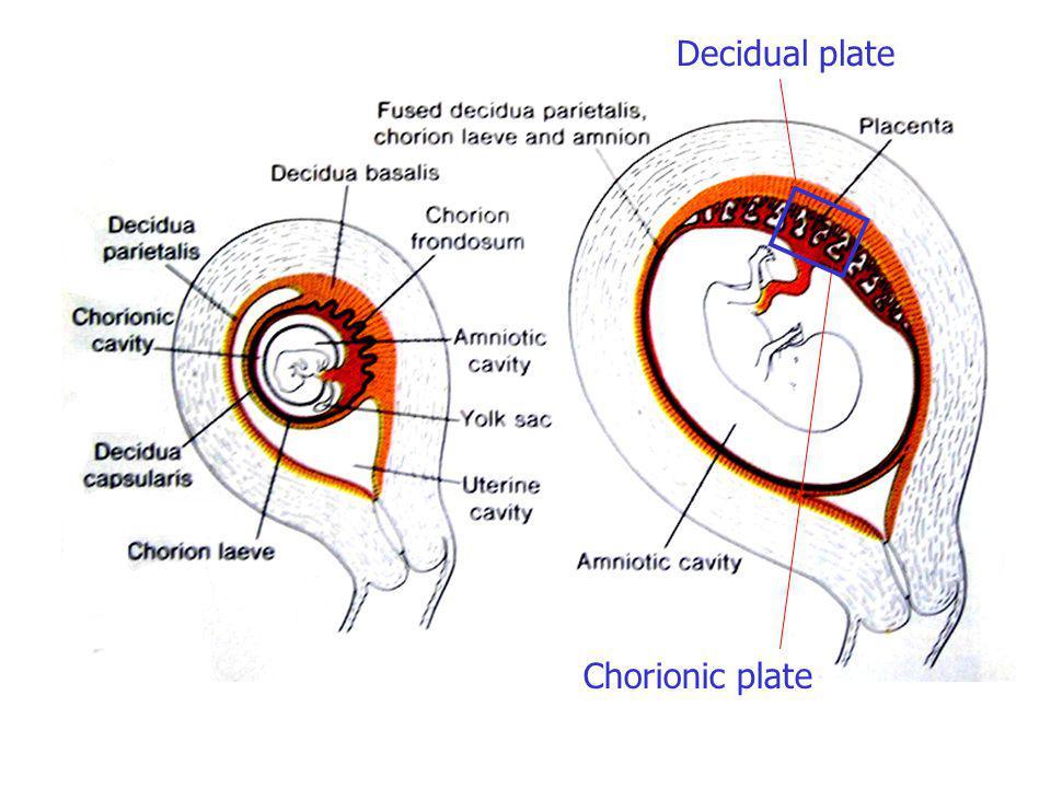 Fetal membranes, umbilical cord and placenta Dr. Sanjaya Adikari ...