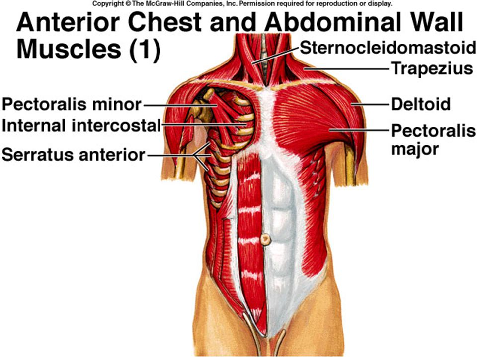 C Muscles Of The Pelvic Region Ppt Video Online Download