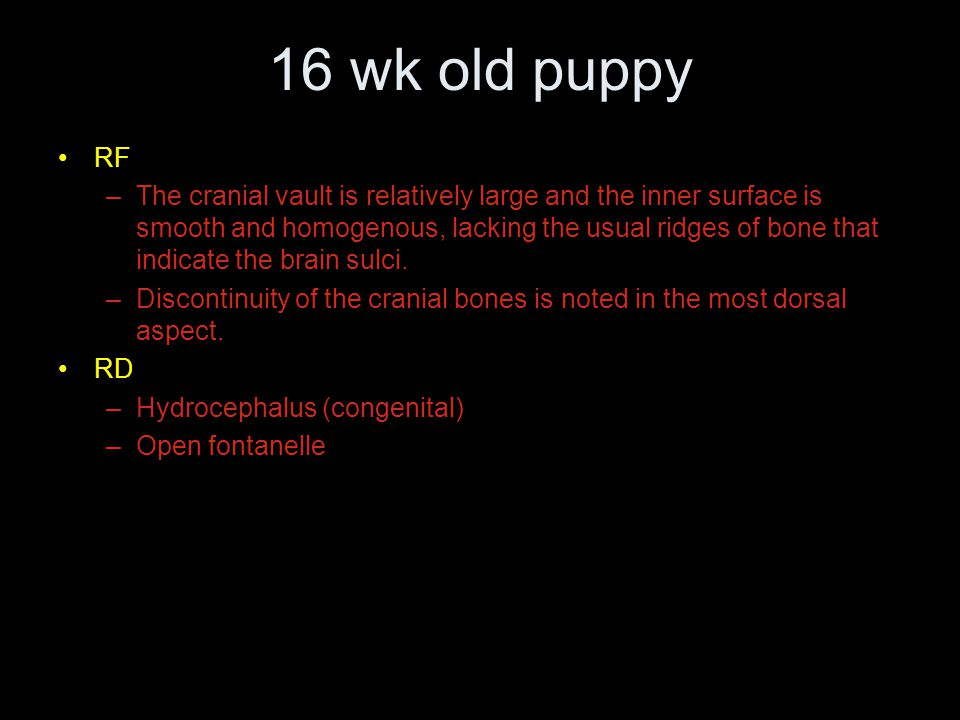 16 wk old puppy RF –The cranial vault is relatively large and the inner surface is smooth and homogenous, lacking the usual ridges of bone that indicate the brain sulci.