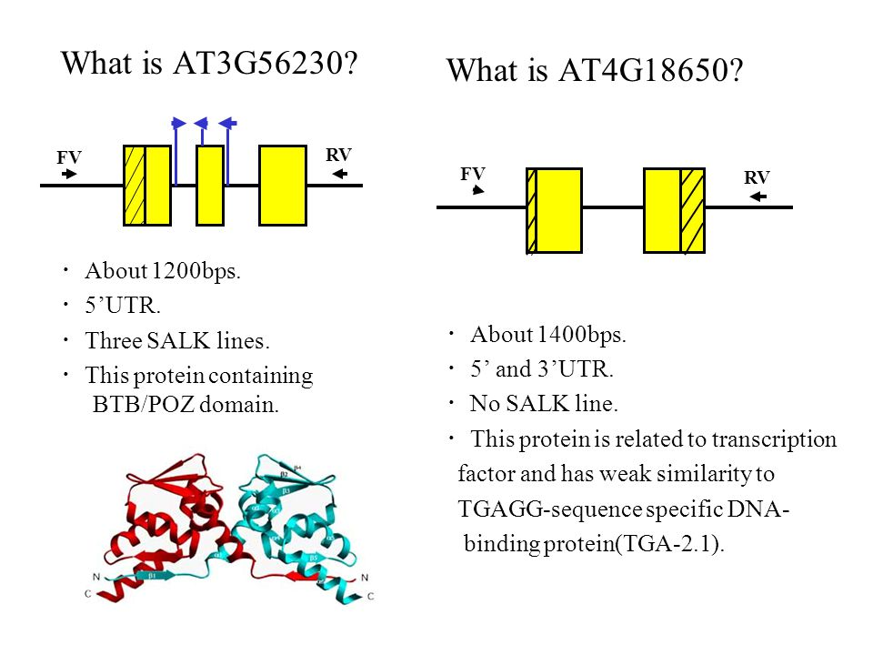 What is AT3G56230. ・ About 1200bps. ・ 5'UTR. ・ Three SALK lines.