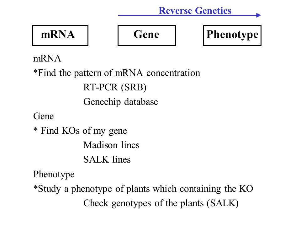 mRNA *Find the pattern of mRNA concentration RT-PCR (SRB) Genechip database Gene * Find KOs of my gene Madison lines SALK lines Phenotype *Study a phenotype of plants which containing the KO Check genotypes of the plants (SALK) mRNAGenePhenotype Reverse Genetics
