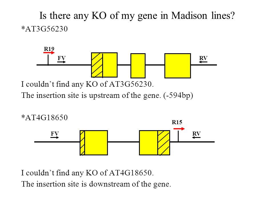 Is there any KO of my gene in Madison lines. *AT3G56230 I couldn't find any KO of AT3G56230.