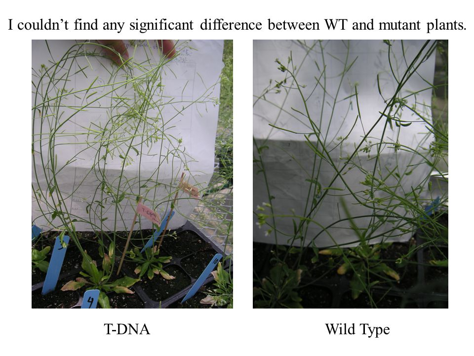 I couldn't find any significant difference between WT and mutant plants. T-DNAWild Type