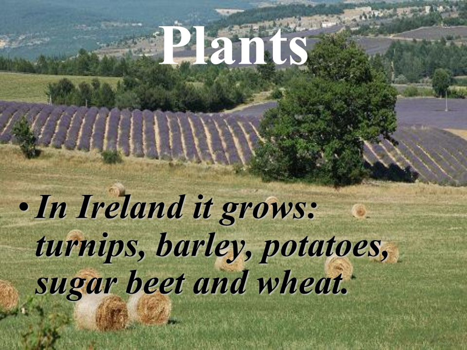 Plants In Ireland it grows: turnips, barley, potatoes, sugar beet and wheat.In Ireland it grows: turnips, barley, potatoes, sugar beet and wheat.