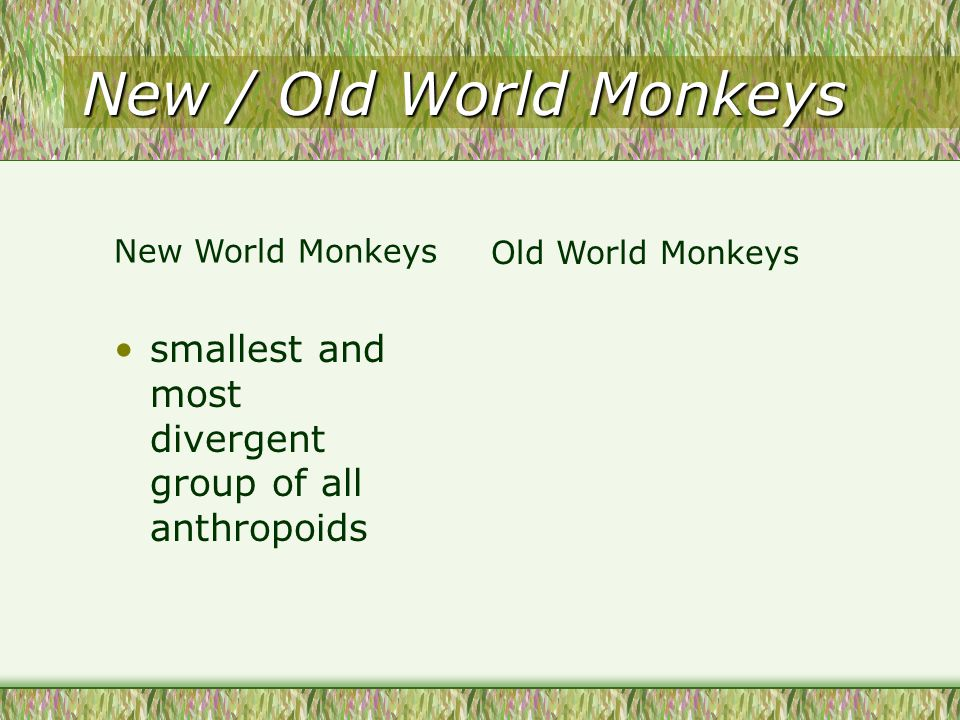 New / Old World Monkeys smallest and most divergent group of all anthropoids New World Monkeys Old World Monkeys